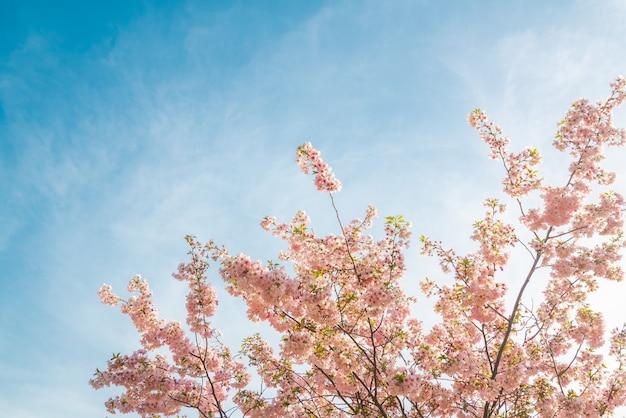 Árvore de sakura florescendo no fundo do céu azul
