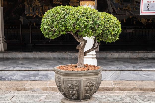 Árvore de tako, dobrando-se em um jardim. árvore de elemento de ébano de bonsai para decorar o projeto do arquiteto.