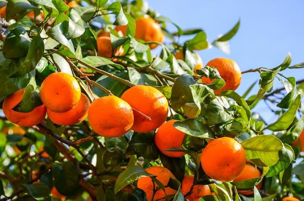 Árvore de tangerina em um jardim botânico. batumi, georgia.