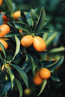 Árvore de tangerina em um jardim de frutas exóticas, alimentos orgânicos e conceito de planta frutífera