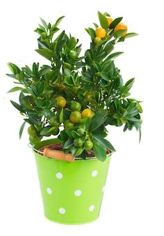 Árvore de tangerina em vaso verde isolada na parede branca