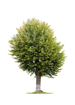 Árvore de tília isolada em um fundo branco. foto de alta qualidade
