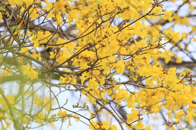 Árvore de trombeta amarela ou árvore do goldin tropical na florescência.