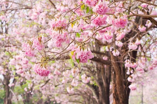 Árvore de trombeta-de-rosa (bertol), flor-de-rosa doce florescendo no jardim