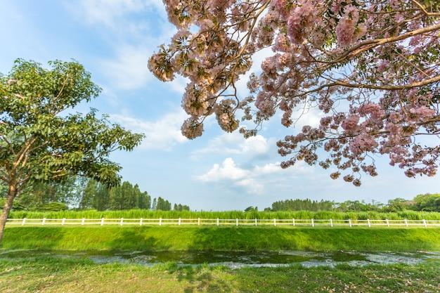 Árvore de trombeta-de-rosa (tabebuia rosea), uma flor-de-rosa doce florescendo com céu azul