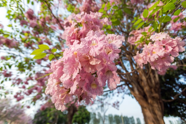 Árvore de trombeta-de-rosa, tabebuia rosea