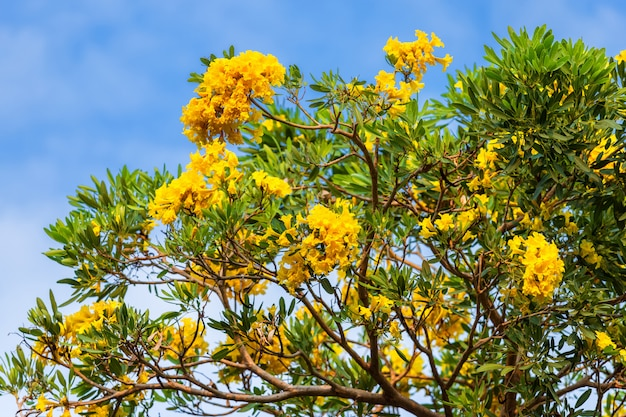Árvore de trombeta dourada no parque dentro no céu azul.