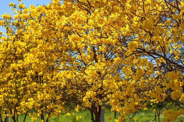 Árvore de trompete dourado no parque em azul