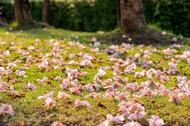 Árvore de trompete rosa caindo no chão de grama