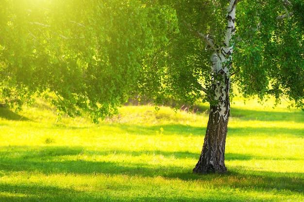 Árvore de vidoeiro com folhas verdes no prado da floresta com grama verde. foco seletivo. fundo de natureza lindo de verão