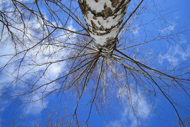 Árvore de vidoeiro sem folhas abaixo da vista.
