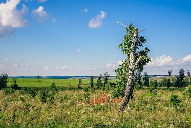 Árvore de vidoeiro solitária com tronco quebrado e galhos em um prado com flores
