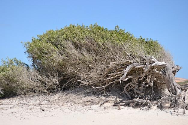 Árvore deformada pela ação do vento na praia de jericoacoara