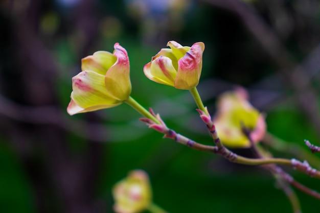Árvore deren florescendo de perto