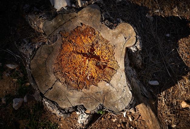 Árvore derrubada podre pelo woodworm e pela umidade