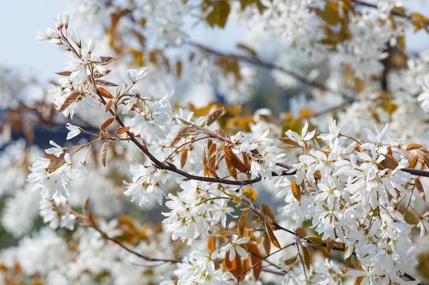 Árvore em flor com flores brancas no fundo da natureza da primavera.