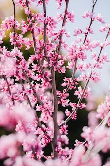Árvore em flor de cerejeira