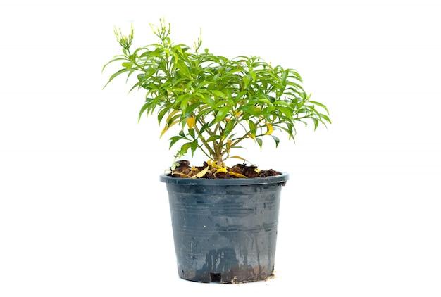 Árvore em um pote preto no fundo branco