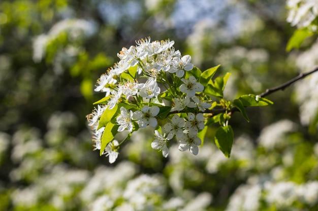 Árvore florescendo com flores brancas