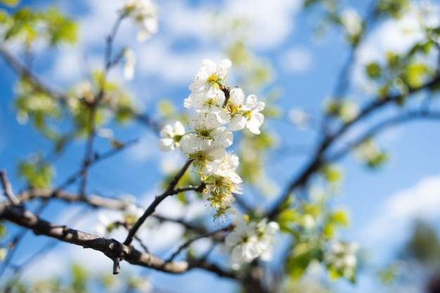 Árvore florescendo sakura