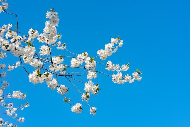 Árvore frutífera de primavera florescendo