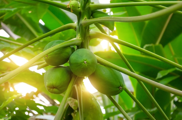 Árvore frutífera papaia imatura na floresta tropical.