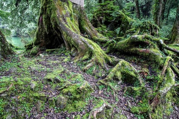 Árvore grande da raiz velha na área do parque nacional de alishan em taiwan.