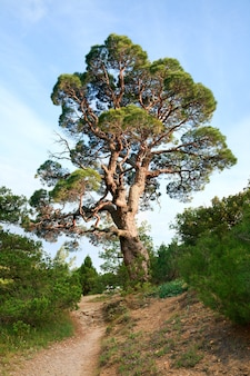 Árvore grande de zimbro no fundo do céu (reserva