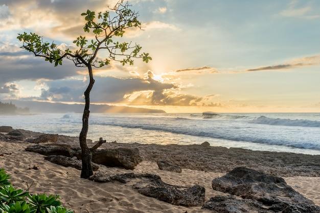 Árvore guarda-chuva, em, ponto rochoso, ligado, oahu, havaí, costa norte, em, pôr do sol