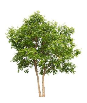 Árvore isolada em fundo branco
