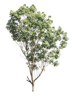 Árvore isolada no branco