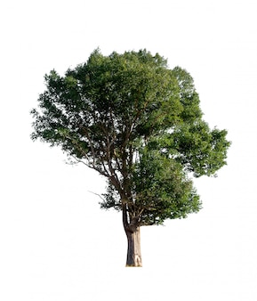Árvore isolada no fundo branco com traçado de recorte.