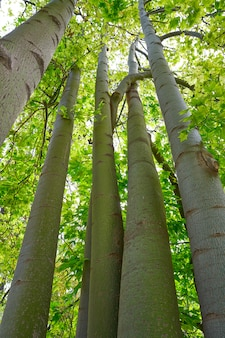 Árvore lacebark brachychiton discolor austrália