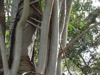 Árvore, latido
