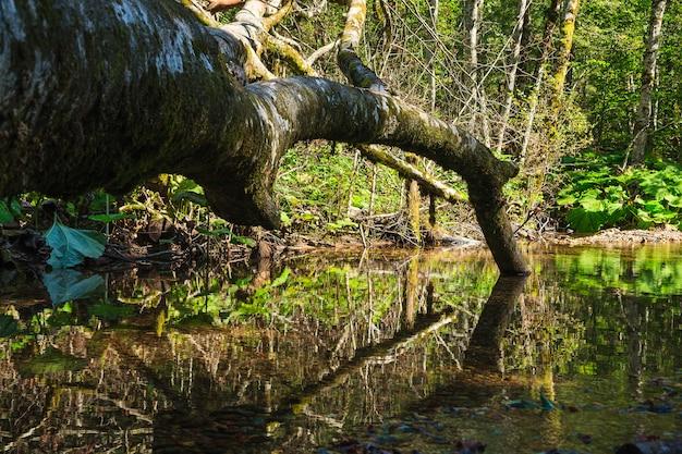 Árvore morta deitada na piscina verde de água com reflexões