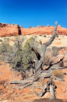 Árvore morta e arco delicado, arizona.