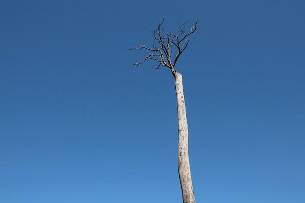 Árvore morta e galhos no céu azul background no verão