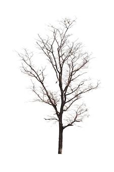 Árvore morta ou árvore seca isolado no branco