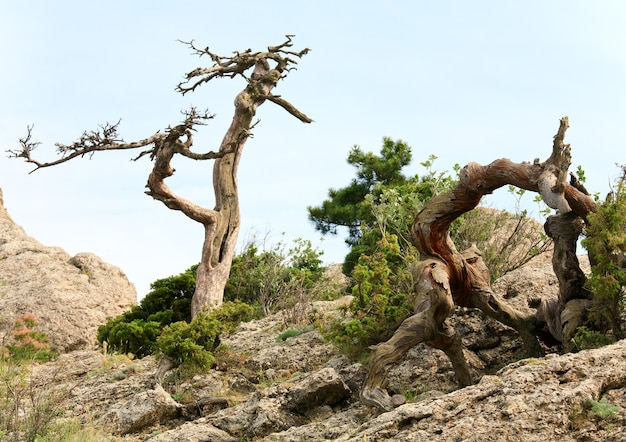Árvore murcha de zimbro no fundo do céu (reserva