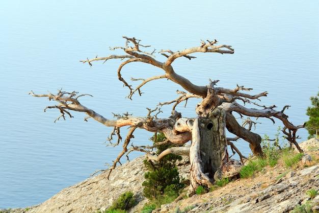 Árvore murcha de zimbro no fundo do mar (crimeia, ucrânia).