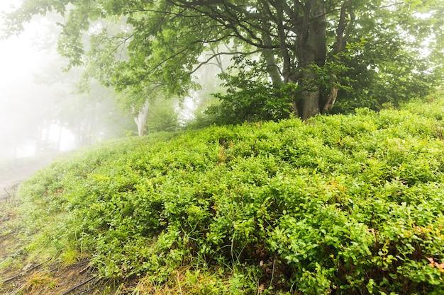 Árvore na névoa da manhã cercada por arbustos de mirtilo