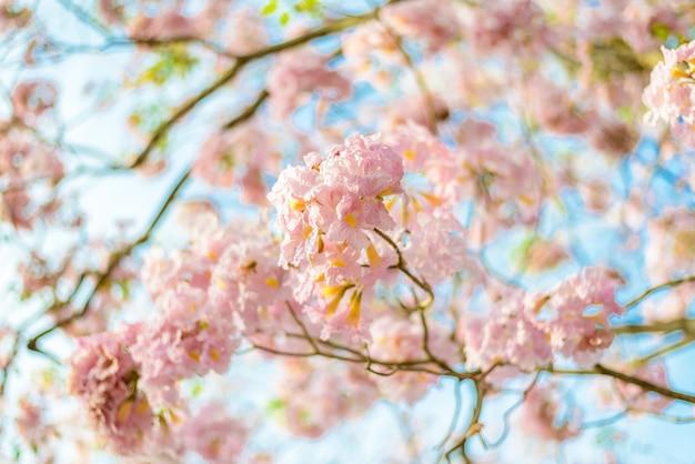 Árvore neotropical de flor rosa e céu azul