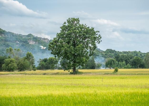 Árvore no campo de arroz com céu azul