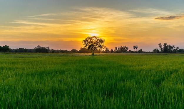 Árvore no campo verde e pôr do sol na zona rural