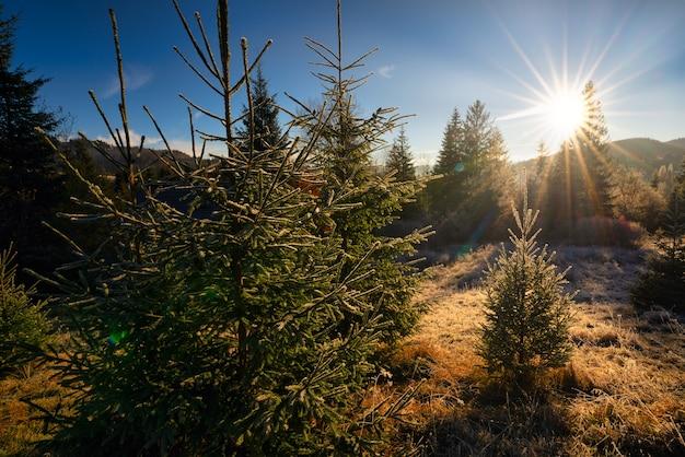 Árvore polvilhada com neve branca e fofa em um prado ensolarado nas montanhas incomuns dos cárpatos