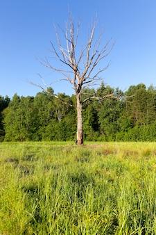 Árvore seca de crescimento solitário contra um fundo de grama verde e árvores na floresta, verão