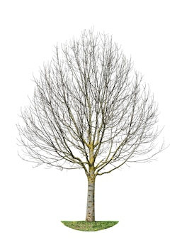Árvore sem folhas. objeto natural isolado
