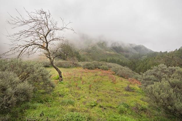 Árvore só e floresta enevoada no fundo em gran canaria, espanha.