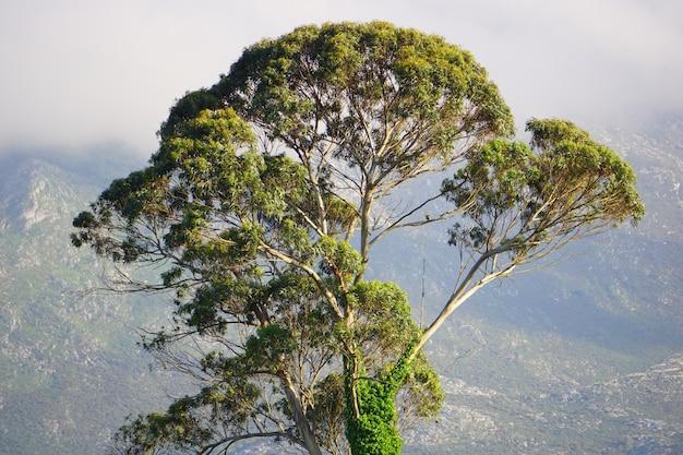 Árvore solitária coberta de musgo, em um dia de neblina