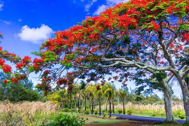 Árvore tropical exótica extravagante com flores vermelhas. ilha maurícia